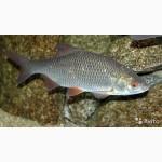 Продам рыба Северная Тюмень, Таймыр, Якутия