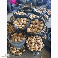 Продаем египетский картофель