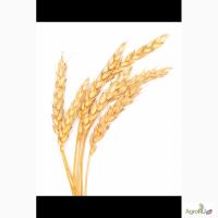 Продам пшеницу озимую 5 класса (фураж)
