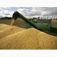 Семена Яровой пшеницы (ОС, ЭС): Дарья, Черноземноуральская 2, Злата, Агата, Сударыня
