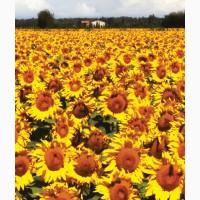 Семена подсолнечника 8Н421КЛДМ от производителя Дау Сидс (Dow Seeds)