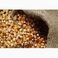 Фуражное зерно: кукуруза