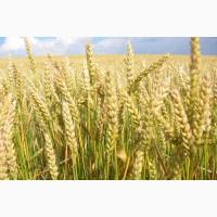 ООО НПП «Зарайские семена» продает семена пшеницы яровой мягкой оптом