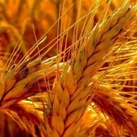 Семена яровой пшеницы Донская элегия