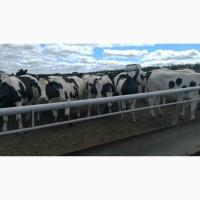 Продажа племенных нетелей молочного направления с продуктивностью от 7000 за лактацию
