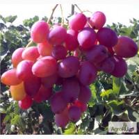 Саженцы и черенки винограда почтой до кургана