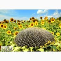 Гибриды семена подсолнечника (ПИОНЕР): П64ЛЕ25, П63ЛЕ10, ПР64Е71 (Pioneer)