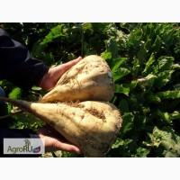 Гибриды семена сахарной свеклы Неро, Промета, Калигула, Саппоро, Монодоро