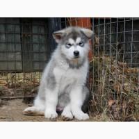 Продажа щенков аляскинского маламута SNOW WIND