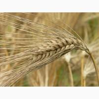 Продаем семена озимого ячменя урожая 2021