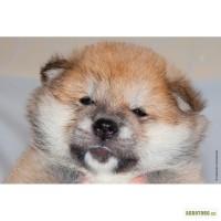 Шикарный щенок акита ину для любящей семьи
