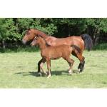Продажа лошадей арабской чистокровной породы
