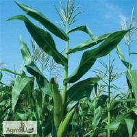 Семена кукурузы Дкс315Фао310