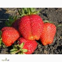 Продам рассаду земляники садовой (клубники) Альфа (с 15 августа 2017)