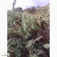 Лекарственное сырьё полыни лечебной (полыни божье дерево)