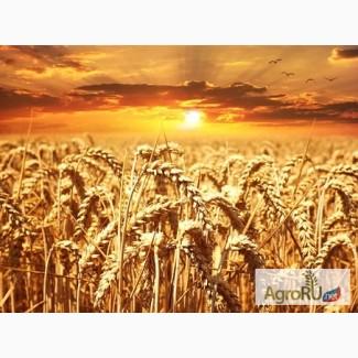 Семена Озимой пшеницы Юка