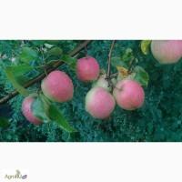 Яблоки урожая 2017