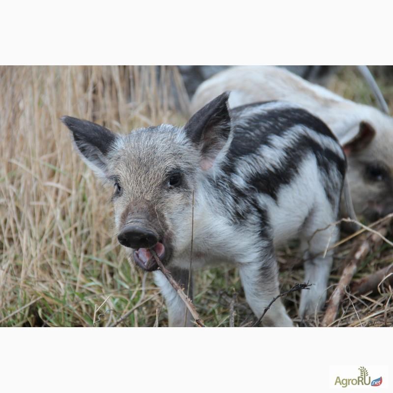 Купить свиней в алтайском крае