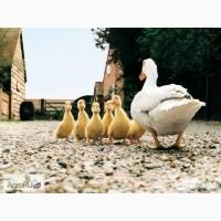 Продам молодняк сельхоз птицы