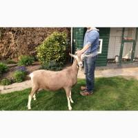Продам Тоггенбургских коз