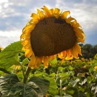 Семена подсолнечника сорт Бригадир