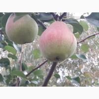 Плодопитомник продает Саженцы плодово-ягодных культур