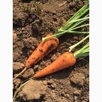 Морковь оптом сорт абако