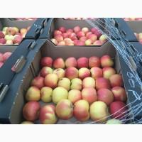 Яблоки сорт Джонаголд