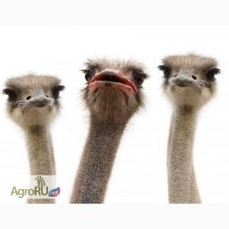 Семья страуса, страусиное трио