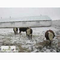 Телки казахско-белоголовой