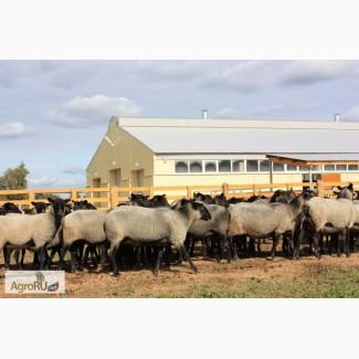 Романовские овцы племенные