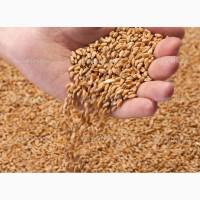 Пшеница Маргарита РС1