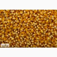 Семена гибридов кукурузы П7709, П8400, ПР37Н01, ПР39Д81, ПР39Ф58