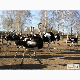 Годовалые страусы