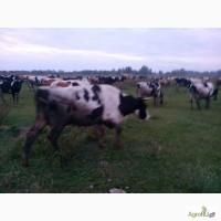 Коровы на убой высшей категории