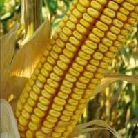 Семена гибридной кукурузы Краснодарский 291АМВ