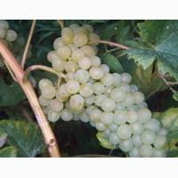 Виноград цитрон цюрупинский белый
