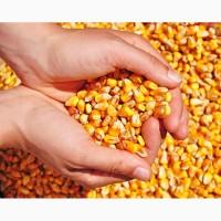 Экспорт пшеницы, ячменя, кукурузы (фураж) FOB, CIF