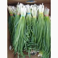 Лук зеленый (перо) в пучках и насыпь, отправка в регионы авиа