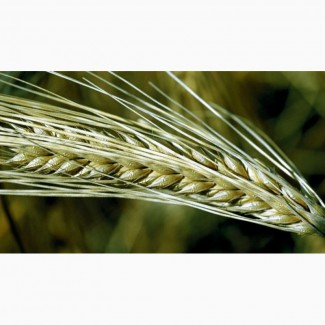 Семена озимой пшеницы и тритикале ЭС