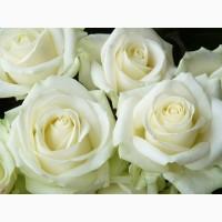 Саженцы белой розы, сорт Аваланж