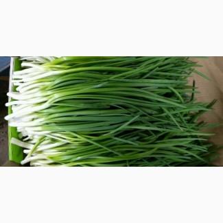 Продам лук зеленый оптом