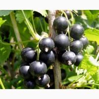 Продаем ягоды черной смородины