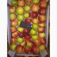 Яблоки сорт Прима от производителя