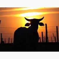 Продаю коров Калмыцкой породы живым весом на убой