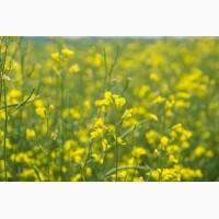 Сурепица озимая семена урожай 2021