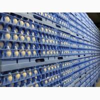 Яйцо инкубационное РОСС 308, от производителя в Литве