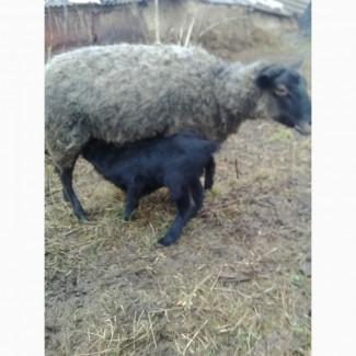 Овцы, ягнята романовской породы