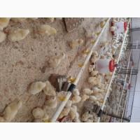 Продам цыплят бройлеров, гусят Линда, утят Агидель