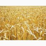 Реализуем пшеницу 3 класса